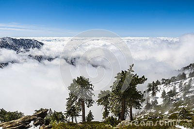 Evergreen trees high on the mountain; sea of white clouds in the background covering the valley, Mount San Antonio (Mt Baldy), Los