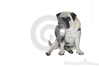 stock image of dog pug with a plate in his mouth.