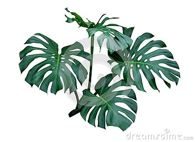 Monstera leaves, the tropical plant evergreen vine isolated on white background, clipping path