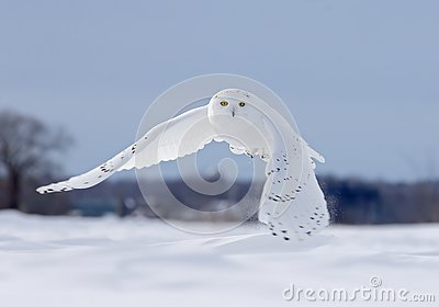 A Snowy owl flying low hunting over an open sunny snowy cornfield in Ottawa, Canada