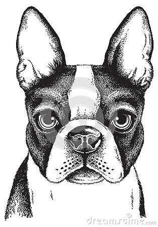 Sketch of a Boston Terrier Face