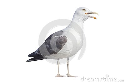 Profile of angry seagull on white background