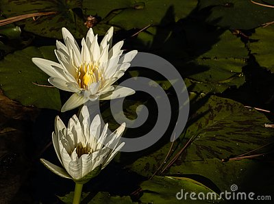 Two white lotus blossoms rising up out of pond of lily pads, calm serene background, meditation wellness harmony spirituality and