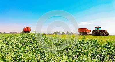stock image of commercial pea farming with a combine harvester