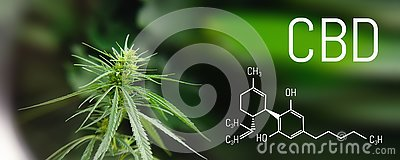 Image medicinal cannabis with extract oil of the formula CBD cannabinol, cannabidiol. Growing marijuana, hemp antioxidant products