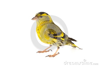 Male siskin, Carduelis spinus, isolated on white background