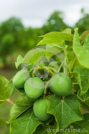 Physic nut, Purging nut or Barbadose nut Jatropha curcas L. agriculture farming, fruitage in the trees. Vegetable oil refining,