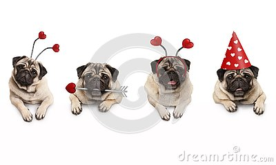 Four cute Valentine love pug puppy dogs, with hearts, hanging on white banner