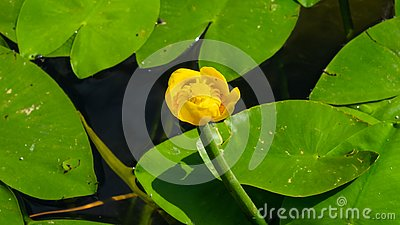 Yellow water-lily brandy-bottle or Nuphar lutea blooming at pond close-up, selective focus, shallow DOF