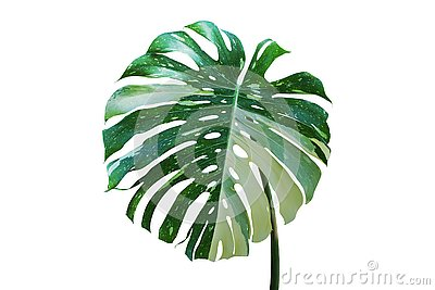 Variegated Leaf of Monstera Tropical Plant Isolated on White Background