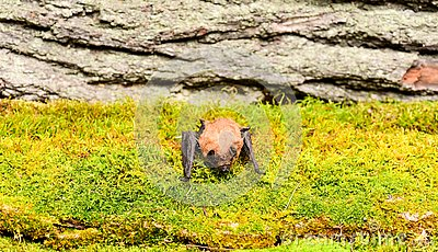 Ugly bat. Forelimbs adapted as wings. Museum of nature. Mammals naturally capable of true and sustained flight. Eyes bat