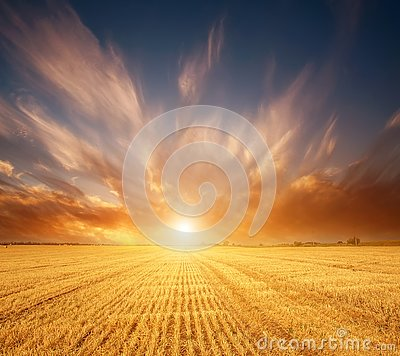 Wheat grain yellow field of cereals on background of magnificent sunset sky light and colorful clouds