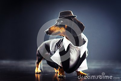 Portrait of a dachshund dog, black and tan, dressed in an elegant suit and white shirt, hat, dancing with strong backlight on the