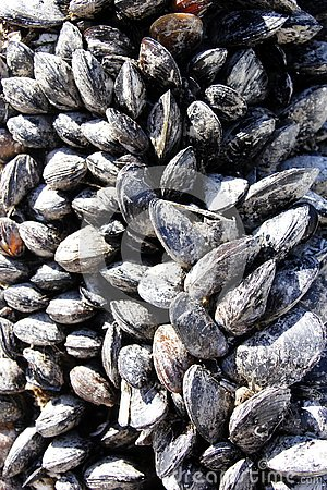 Mussels clinging to Vancouver Island marina dock