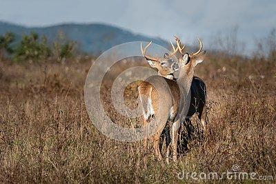 Two bucks grooming each other