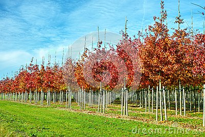 Garden and park tree nurseries specialise in medium to very large sized trees, white american oak tree plantation