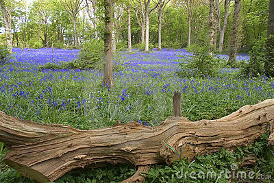 Blue bells in England
