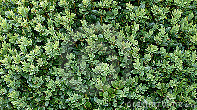 Boxwood background