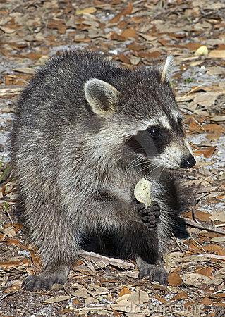 Raccoon Eating Potato Chip