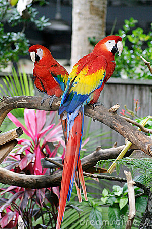 Two Red Macaws