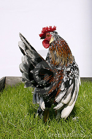 Rooster002