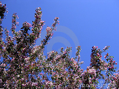 Spring apple tree in bloom postcard