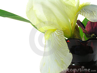Yellow iris in red vase