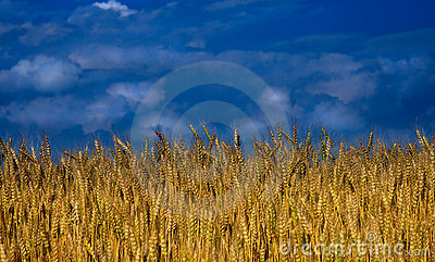 Wheat field with clouds