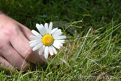 Picking a daisy