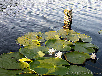 Perfect Place For Fishing - Water Lily
