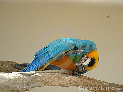 Blue & Gold Macaw scratching