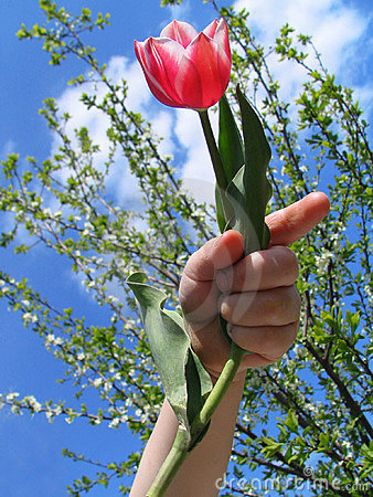 Tulip in a hand