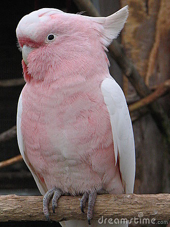 Major Mitchell Cockatoo