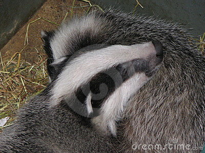 Two Badger cubs
