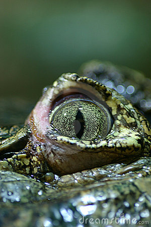 Closeup of a crocodile's eye