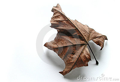 Lost in white - fall leaf