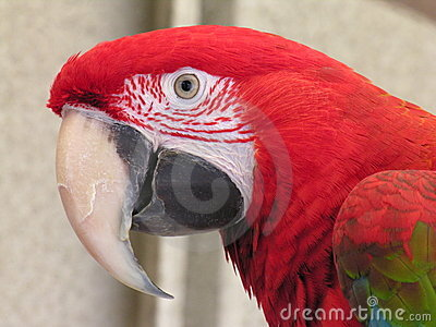 Green Wing Macaw 2