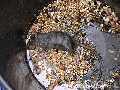 Dead rat in a bucket