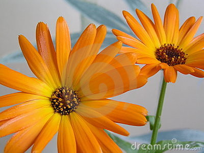 Two bright  calendula flowers