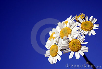 White Group of Daisies