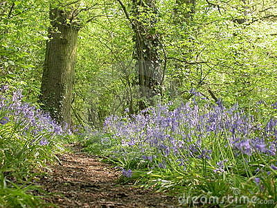 Bluebell Wood 01