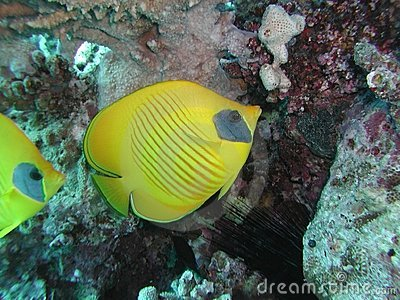 Golden Butterflyfish