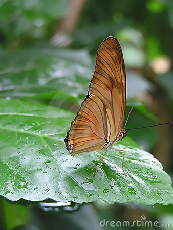 Julia or Flambeau Butterfly (Dryas julia)