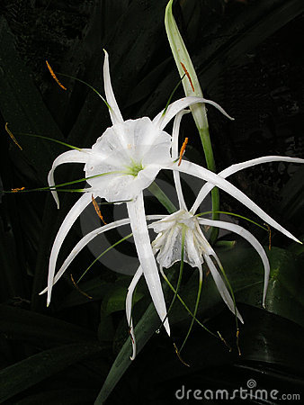 Spider Lily (Hymenocallis sp.)