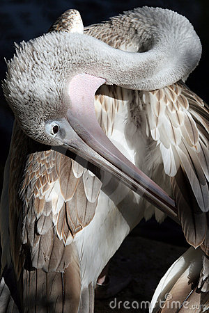 Close-up of pelican
