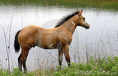 Buckskin Paint Colt at Pond