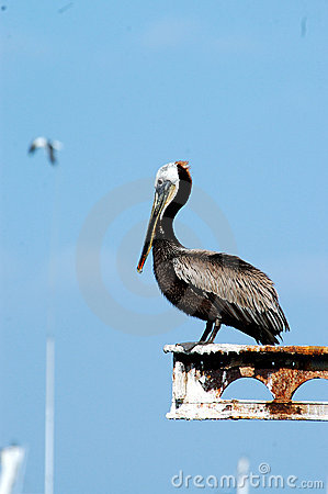 Pelican In Harbor