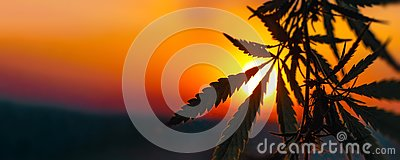 stock image of cannabis commercial grow. concept of herbal alternative medicine, cbd oil