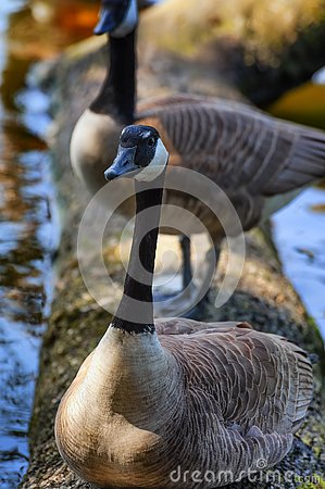 Close up of a goose sitting on a log at waters edge