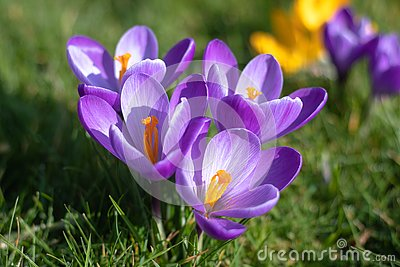 Purple crocus flowers in bloom, horizontal, isolated, with copy space